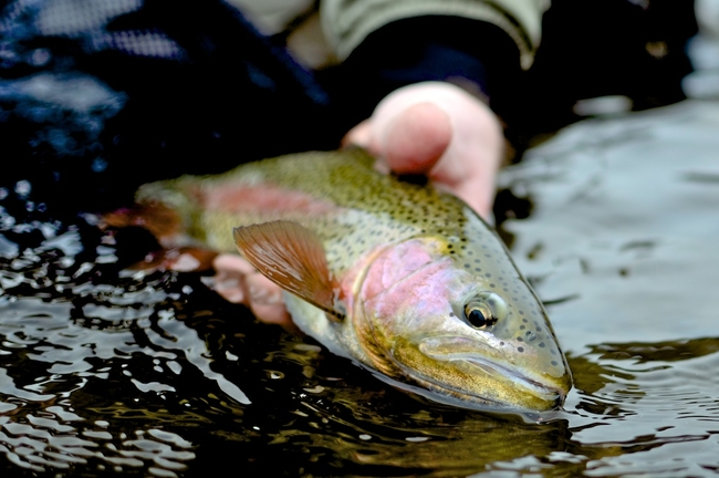 A large and healthy Rock Creek rainbow.